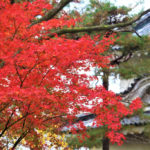 二条城の紅葉